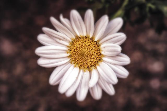 A daisy a day ;)