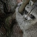 Animal Portraits - Raccoon Redux by KWPashuk (Thanks for >3M views)