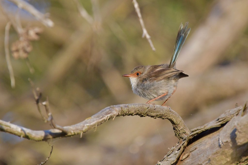 Superb Fairy-wren ( love that tail )