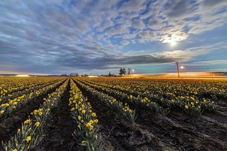 Daffodils under the Moonlight, on La Conner - Whitney Rd, March 22