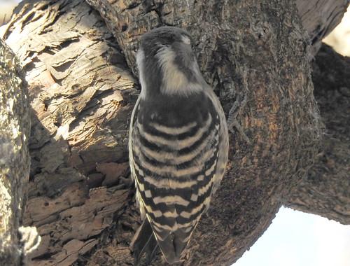 石神井公園の野鳥~コゲラの場所