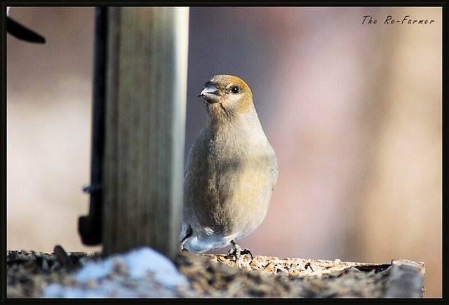 2019-01.female.grosbeak