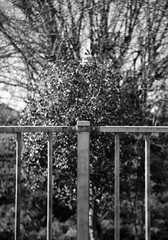 1937 - Fence focusing - Photo of Herbeville