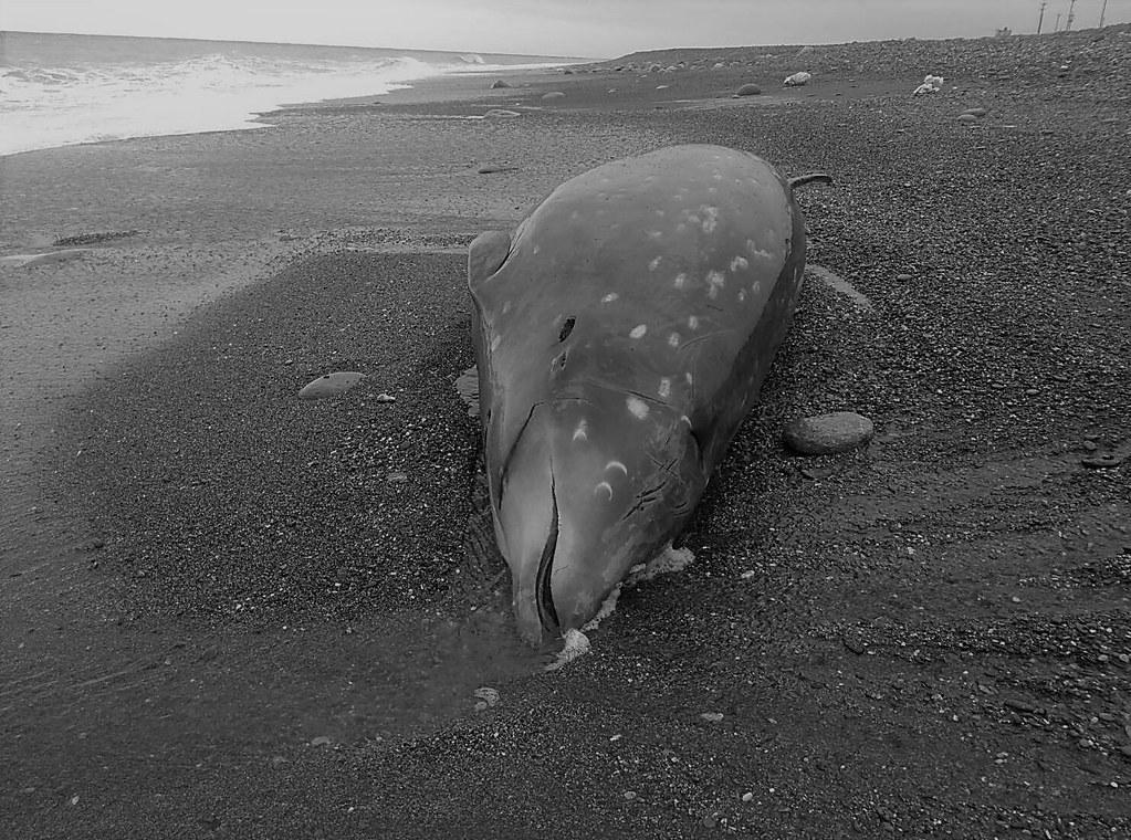 3月15日擱淺的雌性柯氏喙鯨。圖片來源:海洋保育署。
