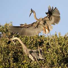 Pair of Great Blue Herons on Nest