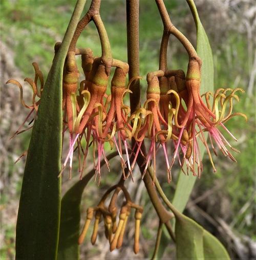 Amyema pendula subsp. pendula - Drooping Mistletoe, JPG