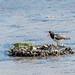 Oystercatcher por pringlecliff