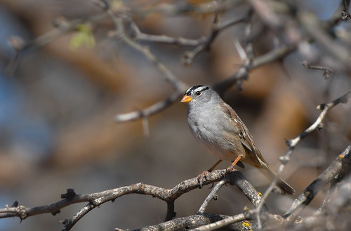White-crowned Sparrow (gambels) (explored 3/8/19)