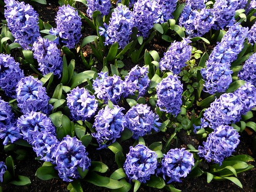 Blue Hyacinthus orientalis