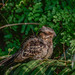 The large-tailed nightjar (Caprimulgus macrurus)