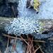 White lichen on branch with fruiting bodies
