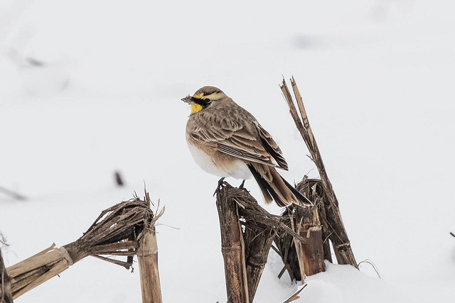 HORNED LARK, Canon EOS-1D X MARK II, Canon EF 600mm f/4.0L IS II USM