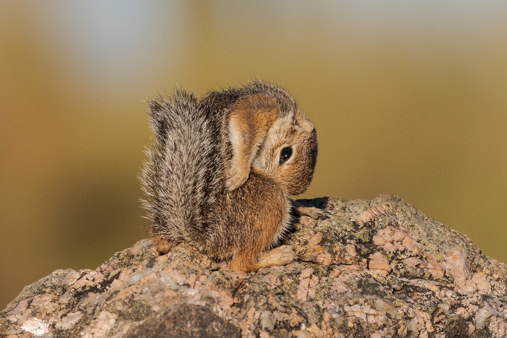 A Harris's antelope squirrel bends to preen on a granite rock along the Vaquero Trail in McDowell Sonoran Preserve in Scottsdale, Arizona