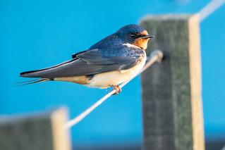 Golondrina tijerita - Barn swallow