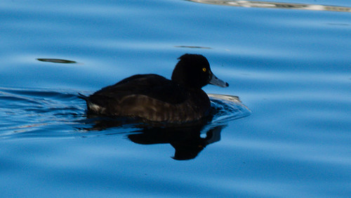 Female tufted duck swimming by