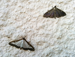 Box tree moths (Cydalima perspectalis) normal & melanistic forms, Belesta - Photo of Saint-Jean-d'Aigues-Vives