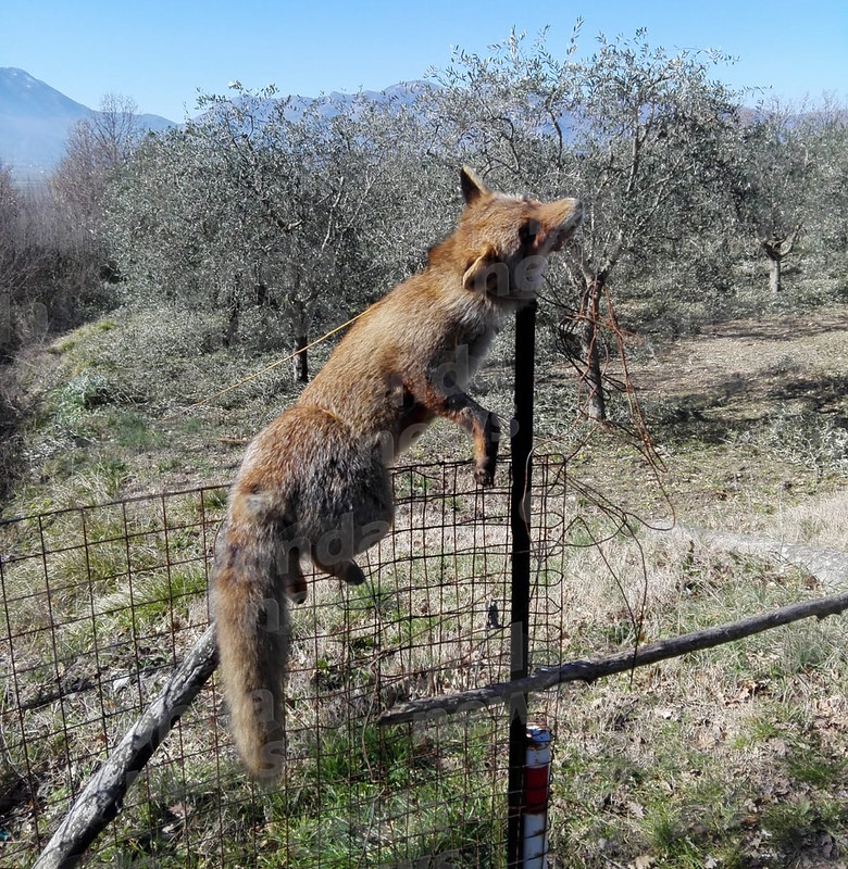 volpe-uccisa-febbraio-2019