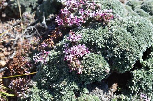 DSC_0331 Junellia patagonica pinkflower ジュネリア パタゴニカ 桃花