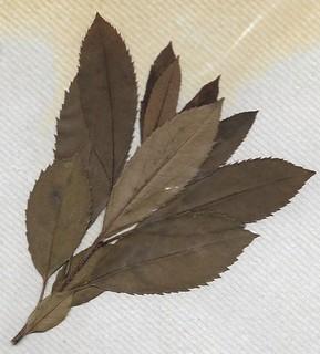 Cirerer d'arboç (Arbutus unedo)