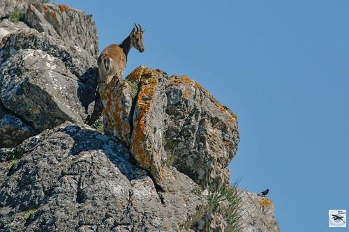 Ibex looking at Black Wheatear_male_w_2011