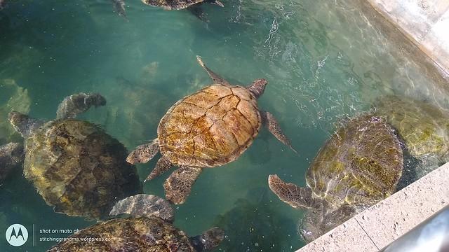 Cayman Turtle Farm breeding pool