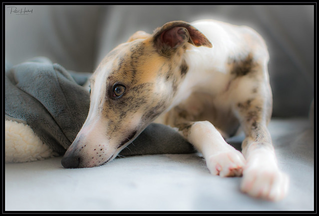 Amy the whippet