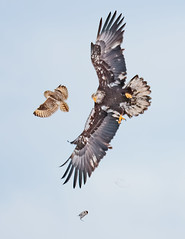 Bald Eagle stealing a vole