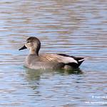 Aves en las lagunas de La Guardia (Toledo) 23-2-2019