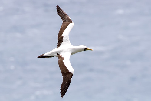 Masked Booby 1