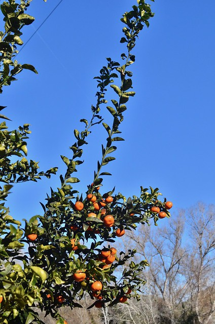 mandariinipuu