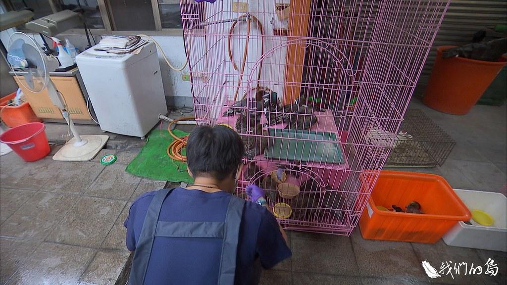 肉毒桿菌毒性非常強,會侵蝕生物的神經系統,已經注射過藥物的雁鴨,靜靜待在籠子中休息。