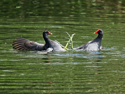 Common Gallinules mix it up 01-20190308