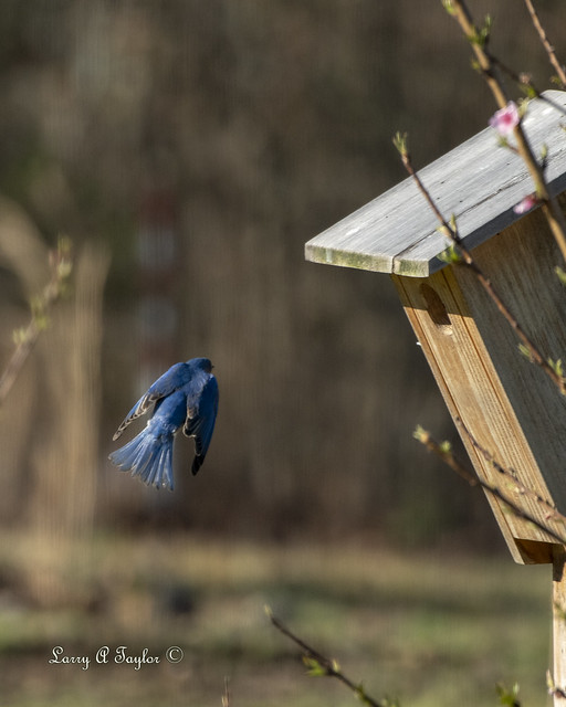 BluebirdBIF-500_2689