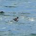 <p><a href=&quot;http://www.flickr.com/people/nvoaden/&quot;>Terathopius</a> posted a photo:</p>&#xA;&#xA;<p><a href=&quot;http://www.flickr.com/photos/nvoaden/40167605303/&quot; title=&quot;Black-necked Grebe, Elie, Fife, Scotland&quot;><img src=&quot;http://farm8.staticflickr.com/7893/40167605303_61094d3a42_m.jpg&quot; width=&quot;240&quot; height=&quot;160&quot; alt=&quot;Black-necked Grebe, Elie, Fife, Scotland&quot; /></a></p>&#xA;&#xA;