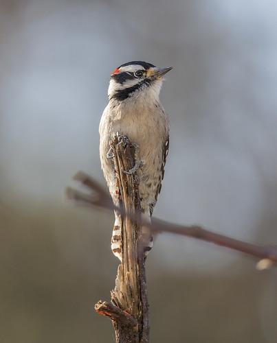 Downy Woodpecker surveying