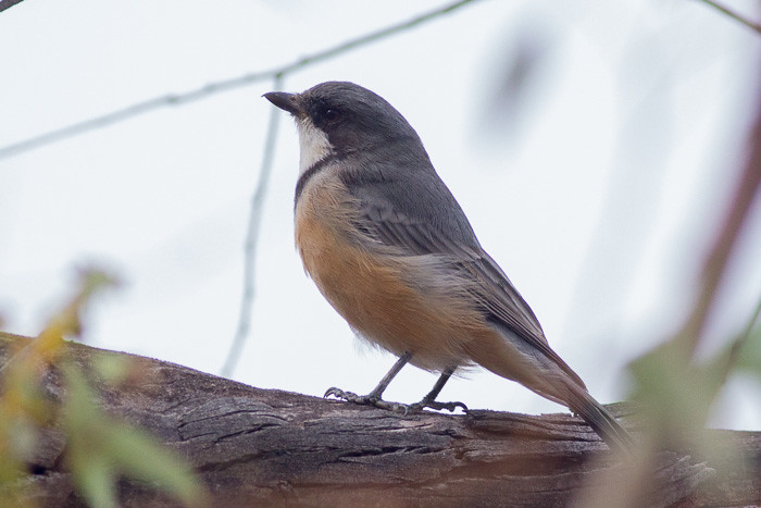 Rufous Whistler - male