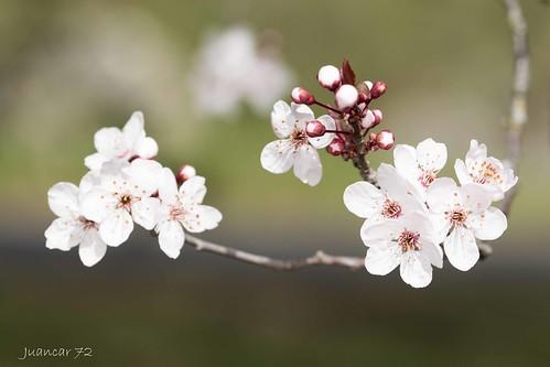 Flor del almendro II