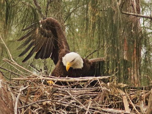 Bald Eagle 6059-20190125