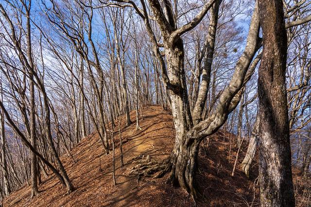 ブナの大木が茂る尾根