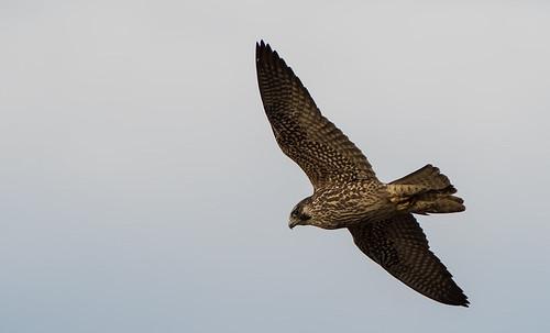 Immature-Peregrine-Falcon-1384