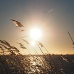 Schilf im Gegenlicht - 11. Februar 2019 - Sonnenuntergang Südstrand Fehmarn - 7. Februar 2019 - Fehmarn - Schleswig-Holstein - Deutschland