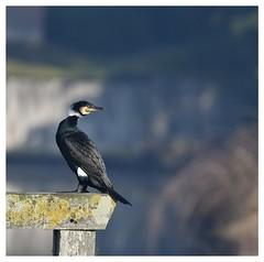 Grand cormoran - DSC_2948-1