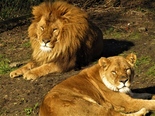 Lions in sun at Olmense Zoo