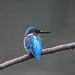 Kingfisher 1903171440.jpg