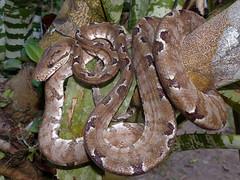 Corallus hortulanus