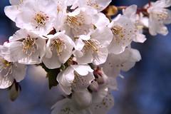 Cherry blossoms, Lichfield City, England