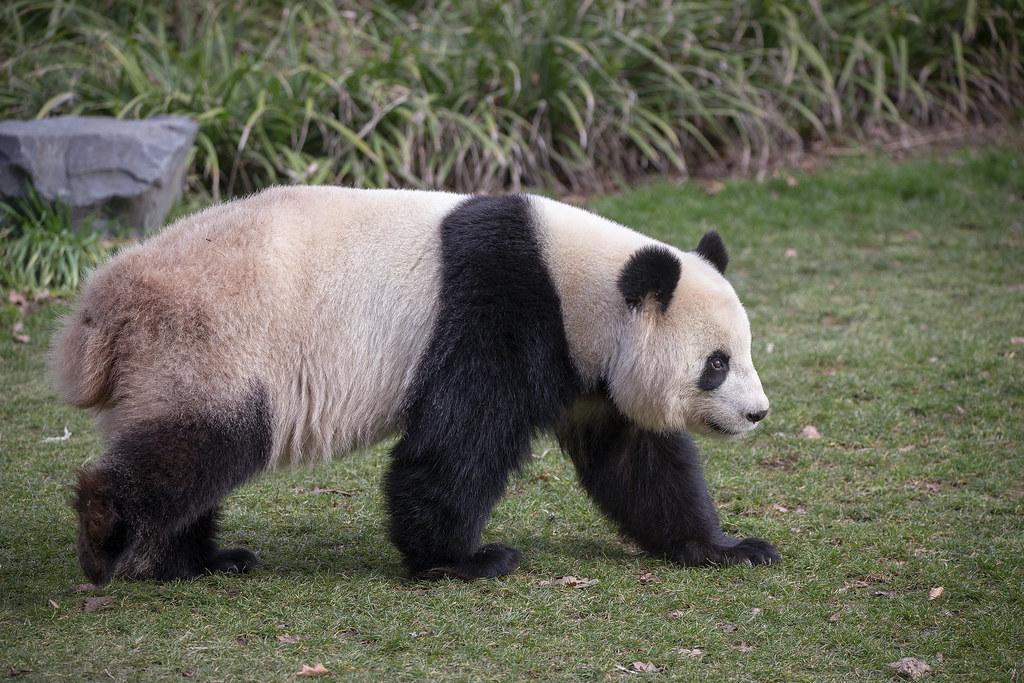 Bären (Ursidae)