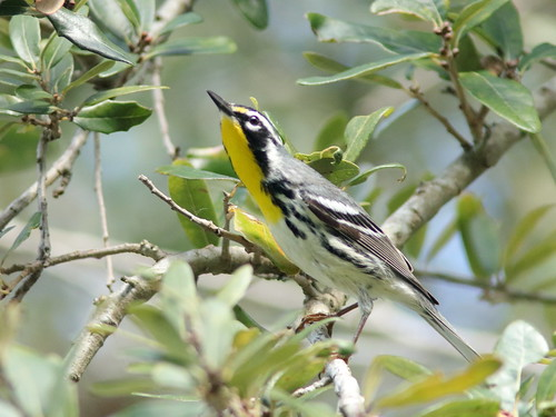 Yellow-throated Warbler 08-20190217