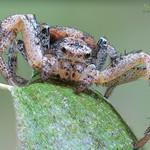 Ground Crab Spider ♀