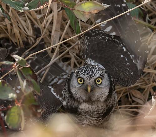 Hawk owl- Proud of catch